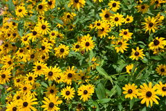 Black-eyed Susans in Full Sun Royalty Free Stock Images