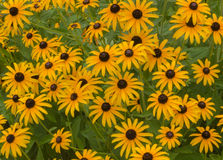 Black Eyed Susans. A garden display of yellow and brown black eyed susans royalty free stock photography
