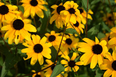 Black-eyed susans Royalty Free Stock Photography