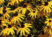 Black eyed susans Royalty Free Stock Image