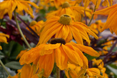 Black-Eyed Susans Stock Photography