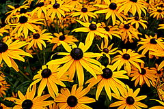 Black-eyed Susans. Patch of wild black-eyed Susans Stock Photography