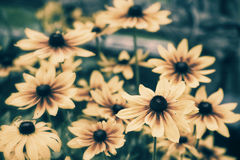 Black Eyed Susans - Retro Royalty Free Stock Image