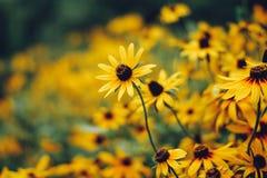 Black-eyed Susans Rudbeckia hirta. Summer Flowers, Black-eyed Susans Rudbeckia hirta Stock Photography