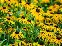 Black eyed susans up close royalty free stock images