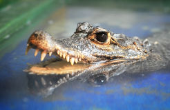 Black eyes Crocodile. Crocodile (Osteolaemus tetraspis) look at the camera royalty free stock photo
