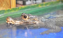 Black eyes Crocodile Stock Photography