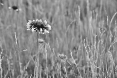 Black Eyed Susan in BW Royalty Free Stock Photo