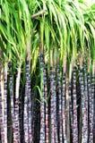 black förföljer sugarcanen Royaltyfri Bild