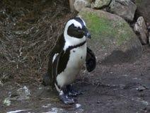Black füßiger Pinguin Lizenzfreie Stockbilder