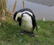 Black füßiger Pinguin Stockfotografie