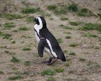 Black füßiger Pinguin Lizenzfreies Stockbild