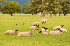 Black face fram sheep on green glass. New Zealand fram animal stock photos
