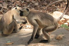 Black face Indian Monkeys in wild. Gray langurs or Hanuman langurs roam around in forest of Ranthambhore National Tiger Safari Park, Sawai Madhopur, Rajasthan Royalty Free Stock Photos