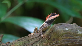 Black face lizard, tree lizard on tree stock video