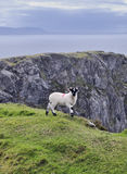 The Black Face Mountain Sheep Stock Images
