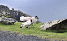 The Black Face Mountain Sheep Royalty Free Stock Photography