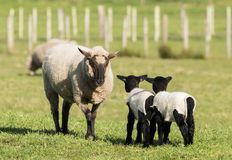 Yes mother. Black face New Zealand sheep have a firm word to her black lambs Royalty Free Stock Photography