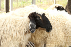 Black face sheep in the farm Stock Photo