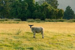 Black face sheep on grass field stock photography