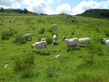 Black Face Sheep Grazing on Hill Royalty Free Stock Photography