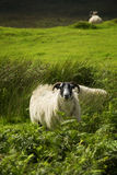 Black face sheep Royalty Free Stock Images