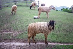 Black face sheep on green grass field. And sheeps background Royalty Free Stock Photo