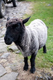 Black face sheep. A lonely black face sheep , New Zealand Stock Photography