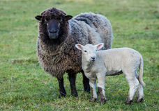 Black Face Sheep. One black face mother sheep and her lamb Stock Images