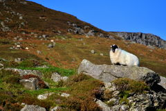 Black face sheep on the rock. Black face sheep is standing on the rock. Photo taken in co. Waterford, Ireland. Near Coumshingaun lake Stock Photo