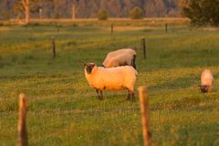 Black face sheep stand on green glass royalty free stock photos