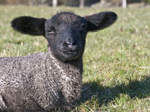 Black Faced Baby Lamb. A very young lamb with black face smiling for the camera Royalty Free Stock Photography