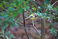 Black-faced bunting yellowish color variation in Japan. Black-faced bunting Emberiza spodocephala, yellowish color variation in Japan Royalty Free Stock Image