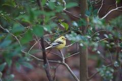Black-faced bunting yellowish color variation in Japan. Black-faced bunting Emberiza spodocephala, yellowish color variation in Japan Stock Photography