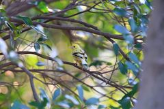 Black-faced bunting yellowish color variation in Japan. Black-faced bunting Emberiza spodocephala, yellowish color variation in Japan Royalty Free Stock Photography