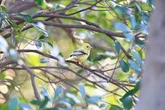 Black-faced bunting yellowish color variation in Japan. Black-faced bunting Emberiza spodocephala, yellowish color variation in Japan Stock Images