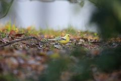 Black-faced bunting yellowish color variation in Japan. Black-faced bunting Emberiza spodocephala, yellowish color variation in Japan Royalty Free Stock Images