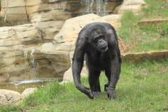 Black-faced chimpanzee Stock Photos