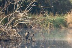 Black faced cormorants in a tree with nests royalty free stock image