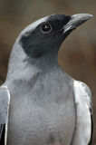 Black faced cuckoo shrike Royalty Free Stock Photos