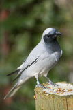 Black faced Cuckoo Shrike Royalty Free Stock Image