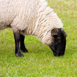 Black faced ewe royalty free stock photos