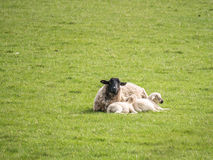 Black faced Ewe and two lambs Lying. Black Faced Ewe lying in field with two lambs snuggled up. Sunny day Royalty Free Stock Photos