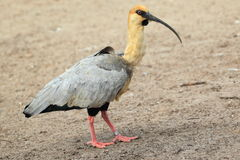 Black-faced ibis Stock Photos