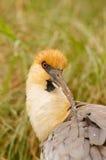 Black-faced Ibis in Patagonia. Black-faced Ibis (Theristicus melanopis) head closeup Stock Photo