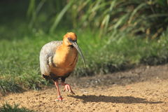 Black-faced ibis Stock Photo