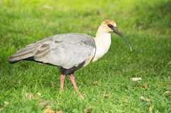 Black Faced Ibis Royalty Free Stock Photography