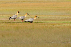 Black-Faced Ibis Stock Images