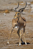 Black-faced impala Royalty Free Stock Image