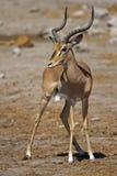 Black-faced impala. Aepyceros melampus petersi royalty free stock image